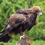 Golden Eagle in the Scottish highlands