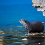 Otter on a Scottish shore